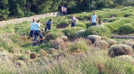Berba lavande iz polja u kostrenskom Rasadniku